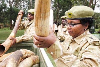 Kenya Wildlife Service Rangers load elephant tusks: Officials attribute elephant poaching to a growing demand for ivory in the international market.