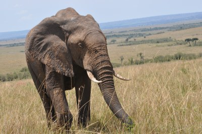 Elephant in the Maasai Mara National Reserve in Kenya.