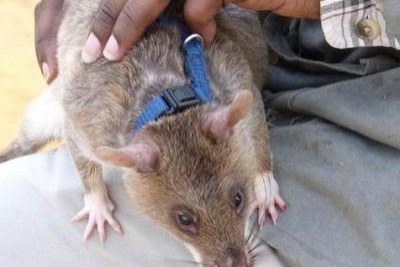 Rats are used to detect landmines (file photo).