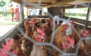 Rwanda to Triple Poultry Production in Five Years