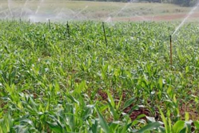 Irrigation in a maize field (file photo).