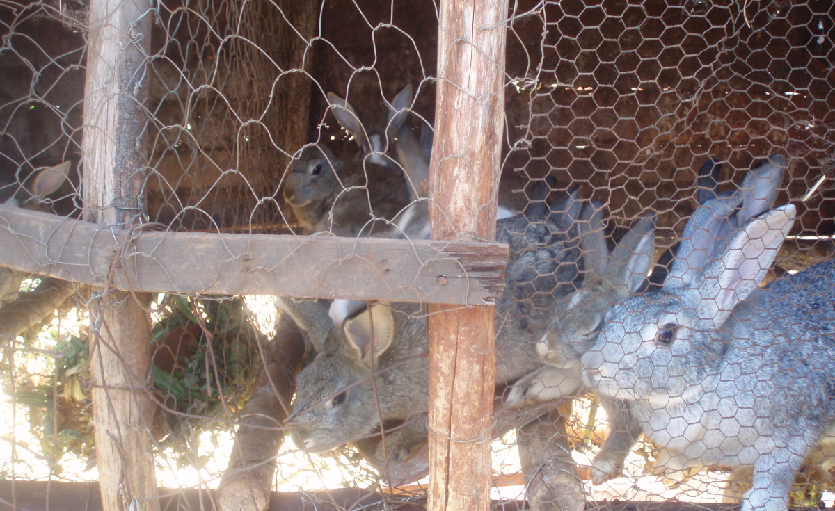 Botswana: Rabbit Production Keeps Ntjenje Going - allAfrica com