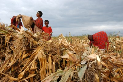 Harvest time in Kenya: The disease affected more than 150,000 farmers, with agriculture officers warning of reduced harvests.