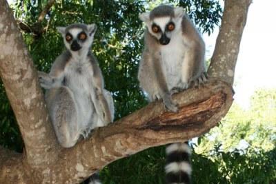 En danger : les lémuriens sont une espèce endémique à Madagascar