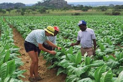 Tobacco growers in Zimbabwe