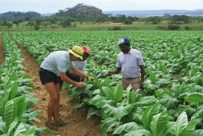 Tobacco growers in Zimbabwe