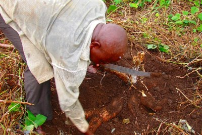 Cameroonian farmer digs out cassava tubers: Rural-urban migration, aggravated by the adverse effects of climate change on rural farming, is thought to be one of the main reasons behind the growing number of urban farmers in the city.