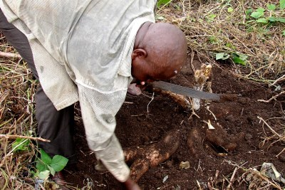 A Cameroonian farmer digs out cassava tubers.