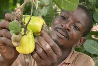 (Photo d'archives ) -  La Côte d'Ivoire est le premier pays producteur en Afrique et de deuxième producteur mondial de la noix de cajou avec plus de 500.000 tonnes