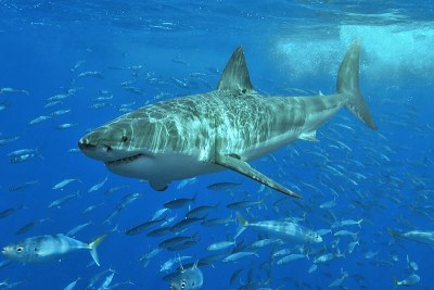White shark (file photo).