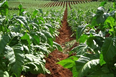 A Tobacco farm in Zimbabwe