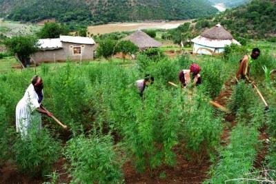 Culture de cannabis dans la région de Pondoland du Cap oriental.