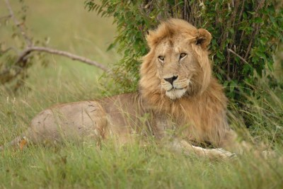 Male Lion at the Masai Mara Reserve (file photo).