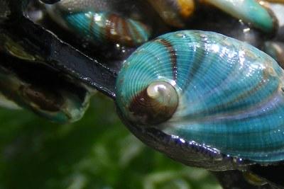 Abalone (file photo).