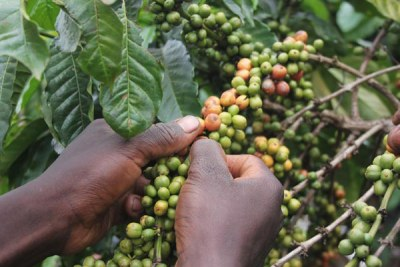 A farmer picks coffee beans (file photo).