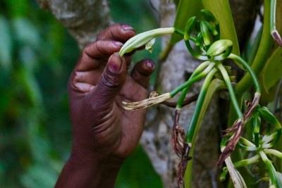 Dans la région de Sava, productrice de vanille, dans la partie nord de la nation insulaire de Madagascar, environ trois producteurs de vanille sur quatre vivent avec moins d'un dollar par jour.