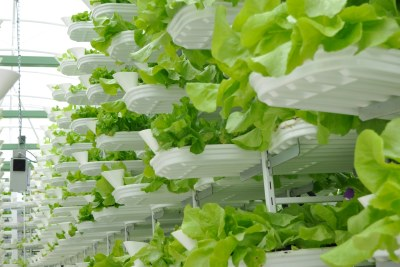 Growing lettuce at a vertical farm.