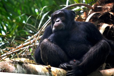 A chimpanzee rests on a log.