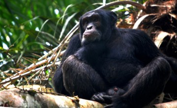 Chimp Trafficking Network Busted in Cameroon