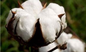 Le Mali redevient premier producteur de coton africain