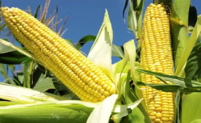 Giving Tanzania's Small-Scale Maize Farmers a Hand Up