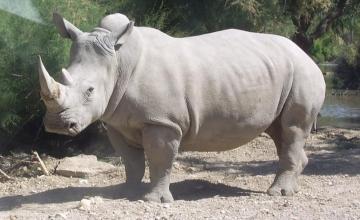 Sudan, le dernier rhinocéros blanc mâle du Nord est mort au Kenya
