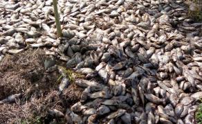 Mystérieuse mort de milliers de poissons dans le lac Toho au Bénin