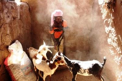 Au Mali, dans la région de Kayes, une jeune fille prend soin des chèvres que la FAO a donné à sa famille.