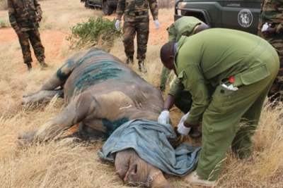 The animal's condition worsened Saturday with Kenya Wildlife Service (KWS) veterinary officers swinging into action to treat wounds inflicted on it late last month when a pride of lions attacked it