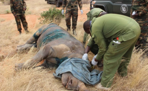 Last Black Rhino Moved to Tsavo Park Dies