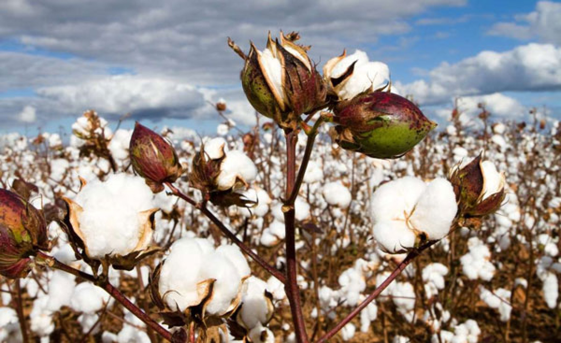 East Africa: Kenya Approves GMO Cotton