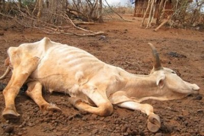 Dead cow.
