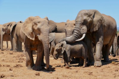 African elephants at the Hapoor water hole in the Addo Elephant National Park in the Eastern Cape, South Africa.