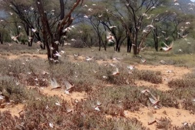 Desert locusts in Legarde, Samburu East on August 19.