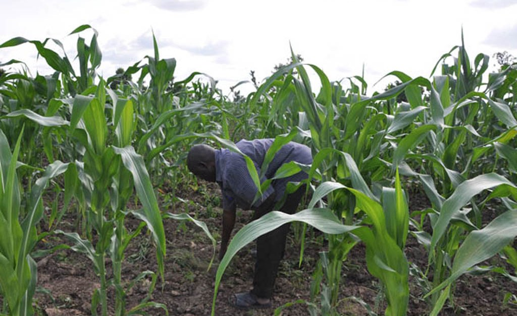 Africa: Successful Crop Innovation Is Mitigating Climate Crisis Impact